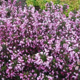 Weigélia - Weigela florida 'Purpurea'