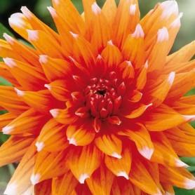 Dahlia Cactus - Dahlia 'Color Spectacle'