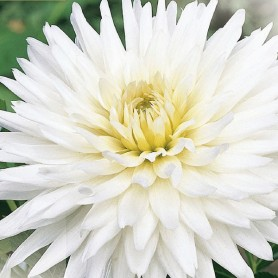 Dahlia 'My Love' - Dahlia Cactus