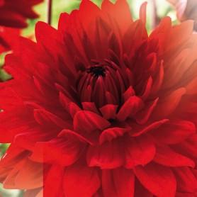 Dahlia 'Garden Wonder' - Dahlia Décoratif