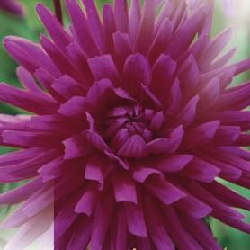 Dahlia 'Purple Gem' - Dahlia Cactus