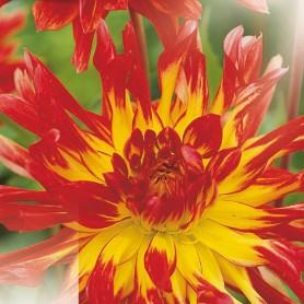 Dahlia 'Vuurvogel' - Dahlia Cactus