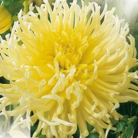 Dahlia 'Yellow Star' - Dahlia fleur d'Araignée