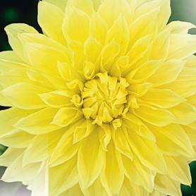 Dahlia 'Kelvin Floodlight' - Dahlia Géant Décoratif