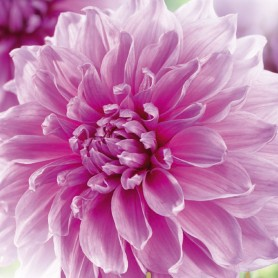 Dahlia 'Lavender Perfection' - Dahlia Géant Décoratif