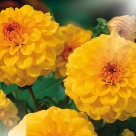 Dahlia 'Golden Scepter' - Dahlia Petit Pompon