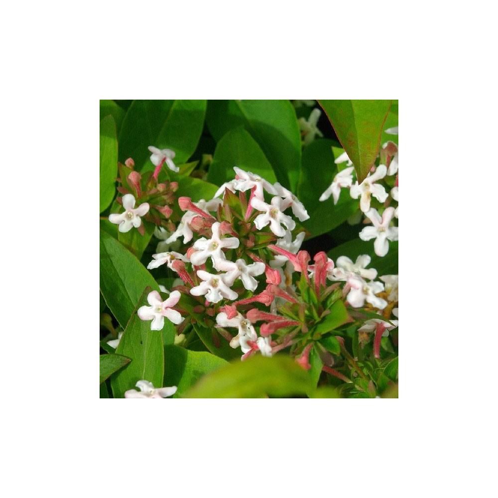 Abelia Mosanensis Monia