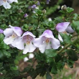 arbuste à menthe - Prostanthera cuneata