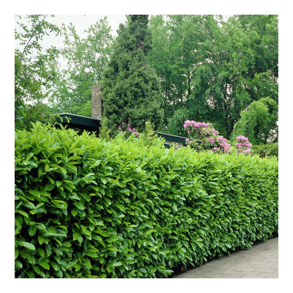 laurier cerise prunus laurocerasus 39 rotundifolia 39 40 60. Black Bedroom Furniture Sets. Home Design Ideas