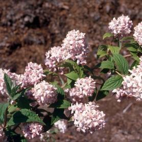 Deutzie - Deutzia hyb. (x) 'Mont Rose'