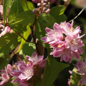 Deutzie - Deutzia hyb. (x) 'Strawberry Fields'