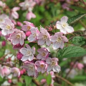 Deutzie - Deutzia purpurascens 'Kalmiiflora'