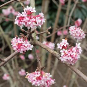 Viorne - Viburnum bodnantense 'Dawn'