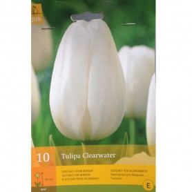 BULBES TULIPE CLEARWATER