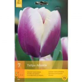 BULBES TULIPE ATLANTIS