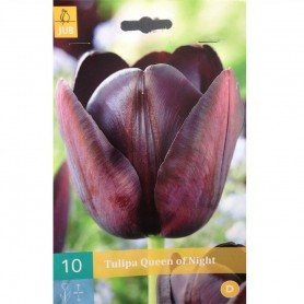 BULBES TULIPE QUEEN OF NIGHT