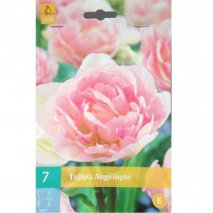 BULBES TULIPE ANGELIQUE /7