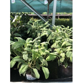 Sauge salvia officinalis 259