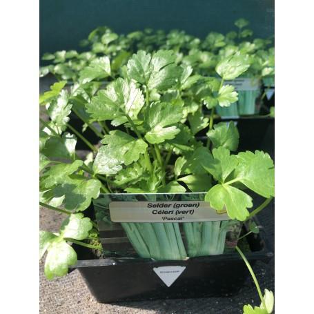 Celeri vert- Légumes