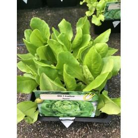 Barquette Laitue appia- Légumes