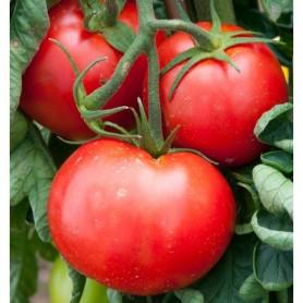 Plant de Tomate Fandango 1,99€