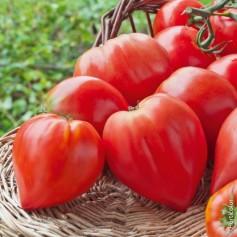 Plant de Tomate Coeur de boeuf 1,45€