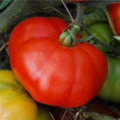 Plant de Tomate marmande 1.45€