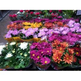 Chrysanthèmes 2€