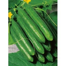 Plants Concombre 1,99€