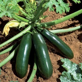 Plants Courgette allongée verte 1.99€