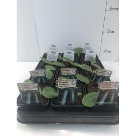 """Plants Courgettes longue verte """"Black Beauty"""""""