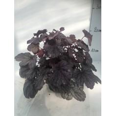 Heuchere violet