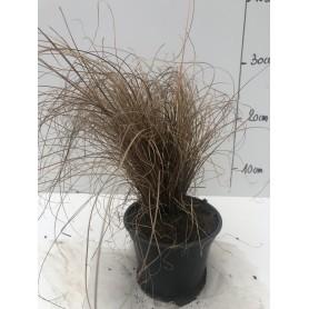 Carex bronz form