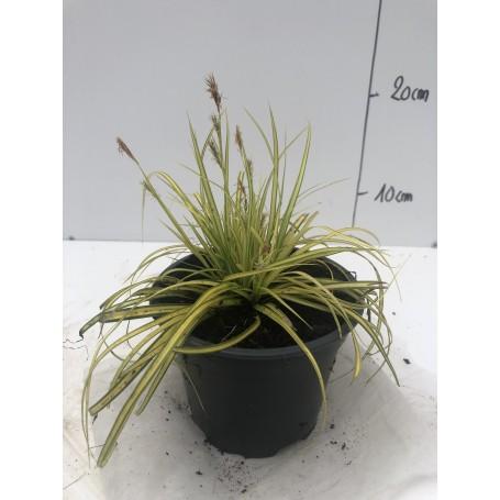 Carex eversheen