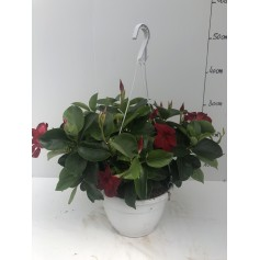 Suspension dipladenia rouge