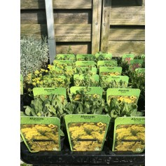 Alyssum corbeille d'or pot carré