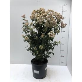 Viburnum tinus struik