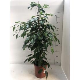 Ficus exotica 1295