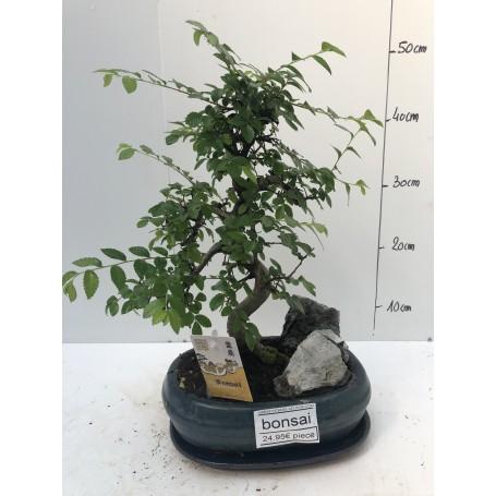 Bonsai rocher 2495