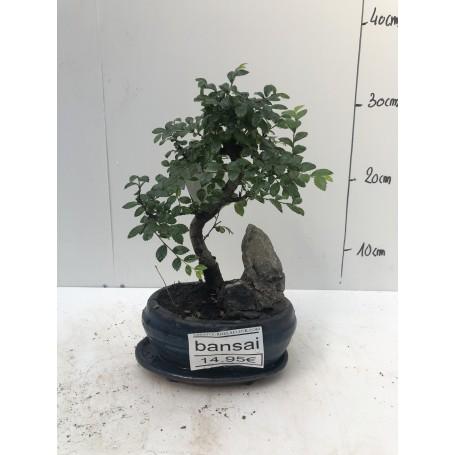 Bonsai rocher 1495