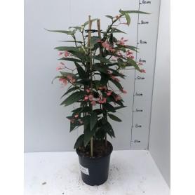 Begonia corallina 19.95€