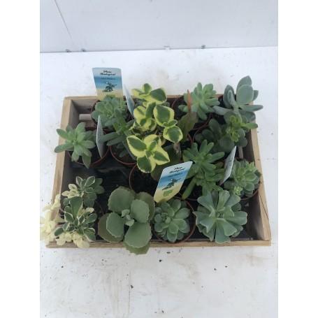 Mini succulente lot de 5