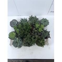 Succulente 1.49€