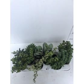 Succulente 2.99€