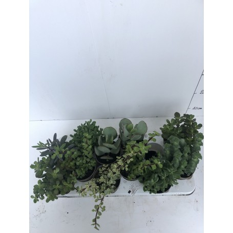 Succulente 299