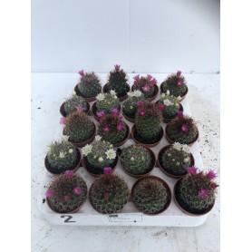 Cactus fleuris 195