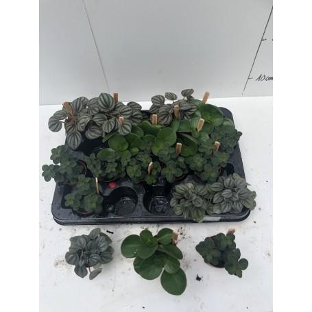 Mini plante mixte