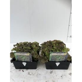 Laitue lolo rossa- Légumes