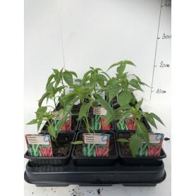 Plants de Piment de Cayenne