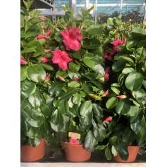 Dipladenia rose grosse fleur